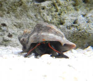 red_hermit_crab